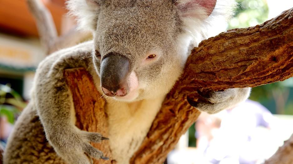 Koala - biểu tượng đáng yêu của Úc
