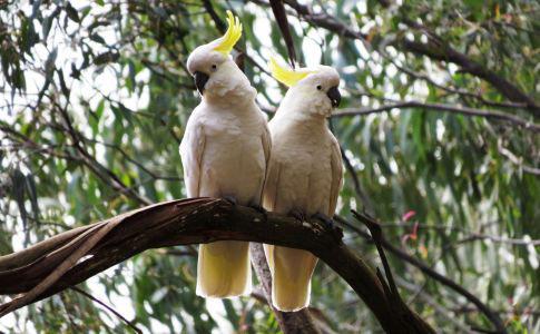 Những chú vẹt trắng ở vườn quốc gia Dandenong