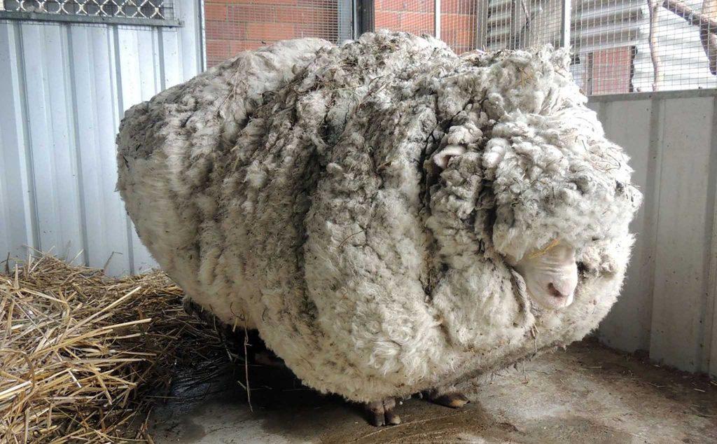 Giống cừu Merino