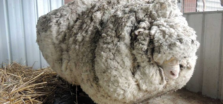 Chú cừu Chris