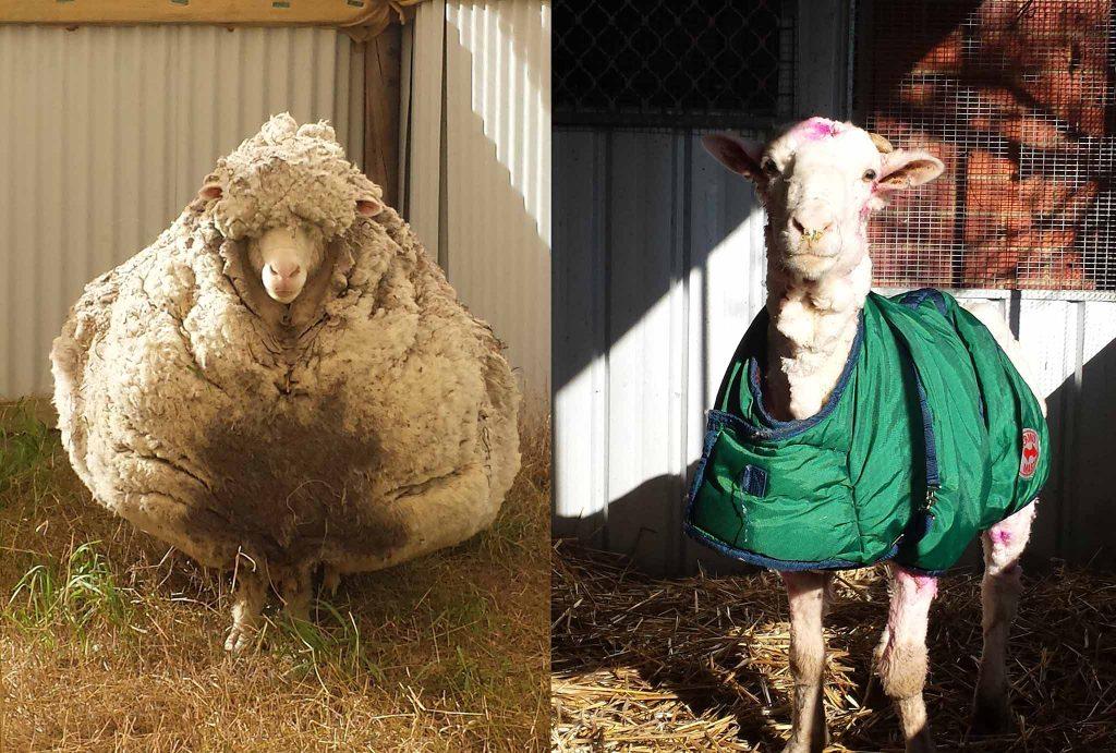 Chú cừu Chris trước và sau khi được cắt xén lông