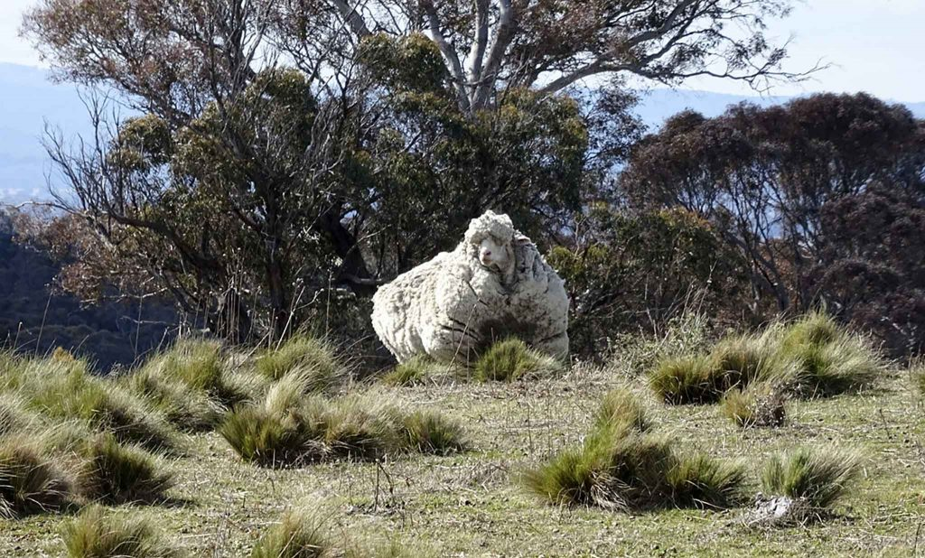 Chú cừu Chris khi được phát hiện