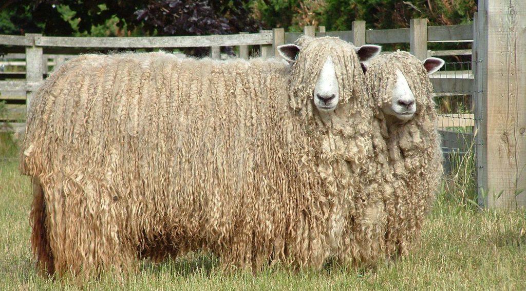 Cừu Lincoln