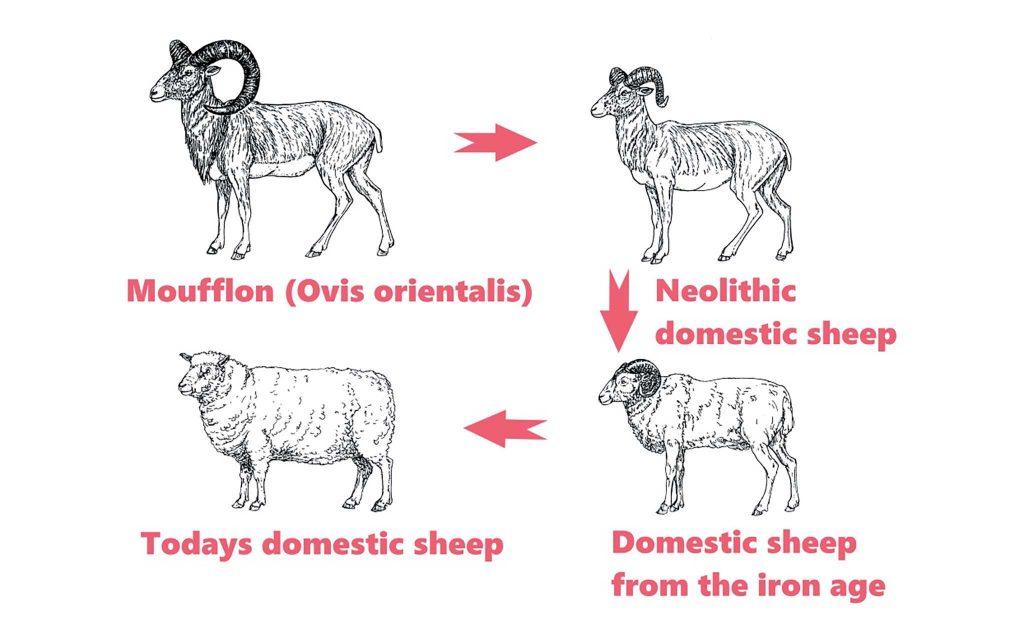 Quy trình tiến hóa của loài cừu